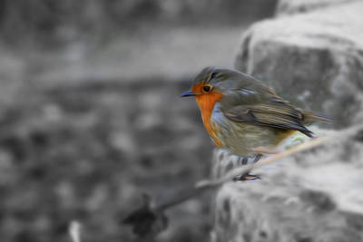 Wee Robin Poster