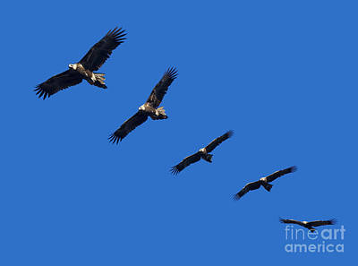 Wege-tail Eagle Montage Poster by Tim Hester