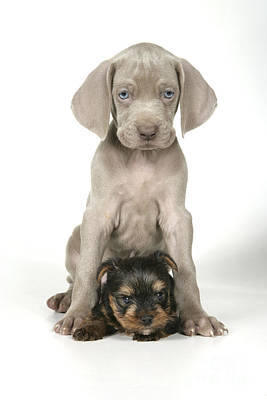 Weimaraner And Yorkie Puppies Poster by John Daniels