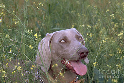Weimaraner Female 1 Year Old Poster