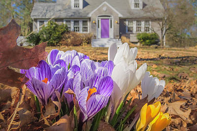 Welcome Mat Of Spring Crocuses Poster by Sylvia J Zarco