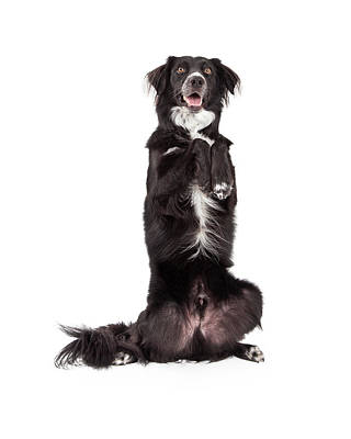 Well Trained Border Collie Mix Breed Dog Begging Poster by Susan Schmitz