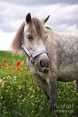 Welsh Pony Lulu Poster by Angela Doelling AD DESIGN Photo and PhotoArt