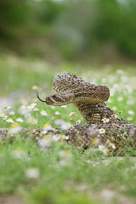 Western Diamondback Rattlesnake Poster by Larry Ditto
