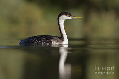 Western Grebe Poster