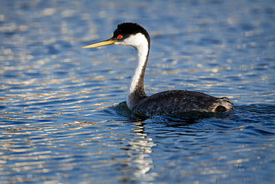 Poster featuring the photograph Western Grebe by Jack Bell