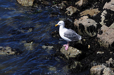 Poster featuring the photograph Western Gull On Rocks by Susan Wiedmann