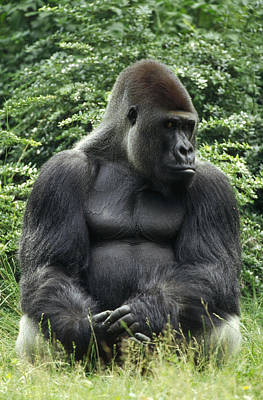 Western Lowland Gorilla Male Poster by Konrad Wothe