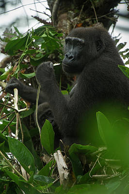 Western Lowland Gorilla, Ngaga Odzala Poster by Pete Oxford