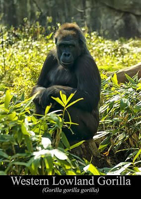 Western Lowland Gorilla Sitting On A Tree Stump Poster by Chris Flees