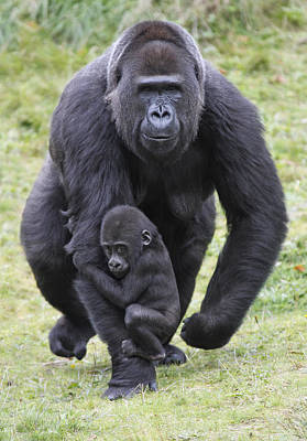 Western Lowland Gorilla Walking Poster