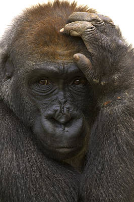 Western Lowland Gorilla With Hand Poster by San Diego Zoo