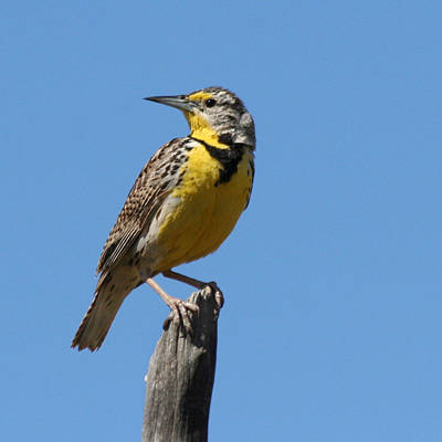 Poster featuring the photograph Western Meadowlark Perching by Bob and Jan Shriner