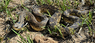 Poster featuring the photograph Western Plains Hognose Snake by Karen Slagle