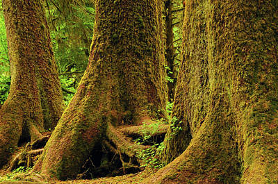 Western Red Cedar, Hoh Rain Forest Poster by Michel Hersen