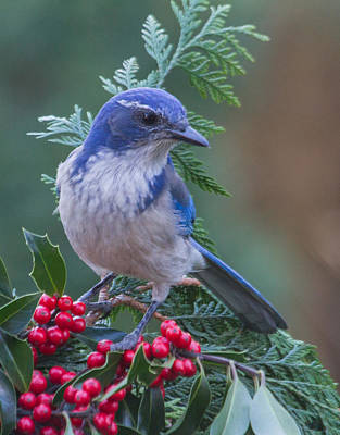 Western Scrub Jay 2 Poster by Angie Vogel