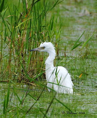 Wet Juvenile Little Blue Heron Poster