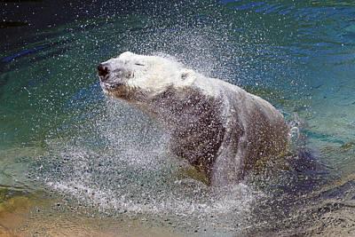 Wet Polar Bear Poster