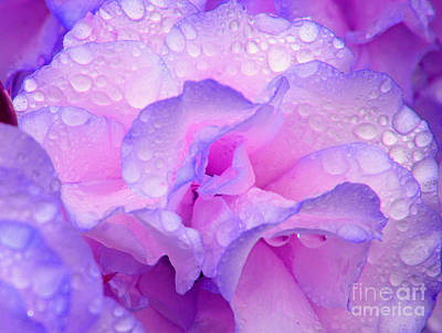 Wet Rose In Pink And Violet Poster by Nareeta Martin