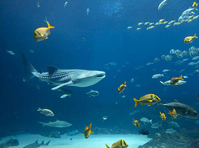 Whale Shark And Others Poster by Alexey Stiop