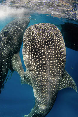 Whale Shark Feeding At Bagan Poster by Pete Oxford