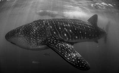 Whale Shark  Poster by Ryan Wilson