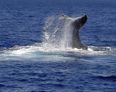 Poster featuring the photograph Whale Tale Splash by Penny Lisowski