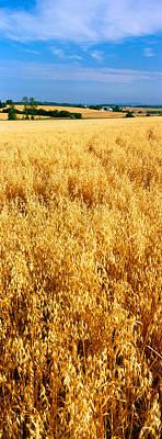 Wheat Crop In A Field, Willamette Poster