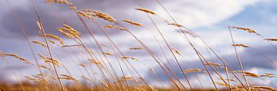 Wheat Stalks Blowing, Crops, Field Poster