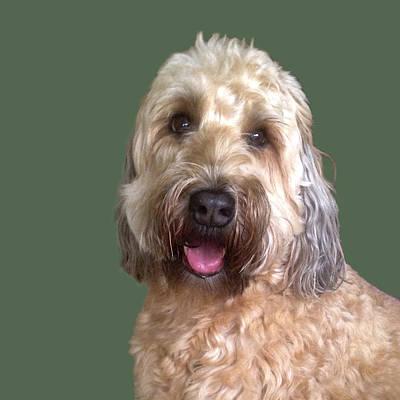 Poster featuring the photograph Wheaton Terrier by Karen Zuk Rosenblatt