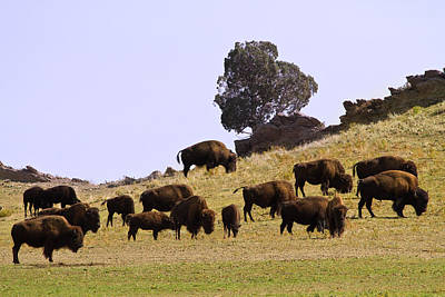 Where The Buffalo Roam In Colorado Poster