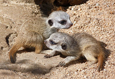 Which Way Now - Baby Meerkats Poster by Margaret Saheed