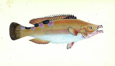 Whiff, Pleuronectes Megastoma, 1804, British Fishes Poster by Artokoloro