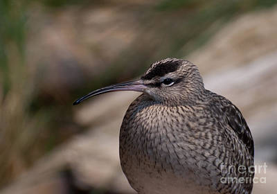 Poster featuring the photograph Whimbrel by Bianca Nadeau