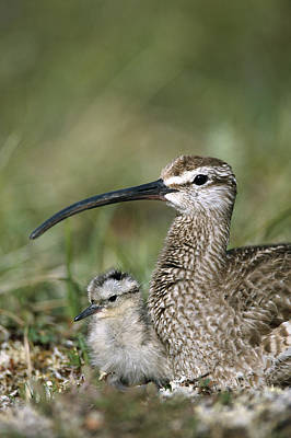 Whimbrel Chick With Parent Alaska Poster