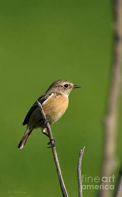 Whinchat 02 Poster