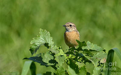 Whinchat Poster