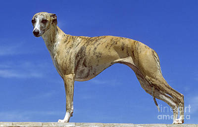 Whippet Poster by Jean-Michel Labat