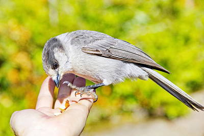 Whiskey Jack Or Gray Jay Eating Nuts From A Hand Poster