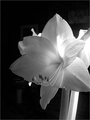 White Amaryllis  Poster by Patricia Greer