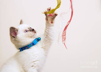 White And Brown British Shorthair Kitten Playing With Ribbons Poster by Leyla Ismet