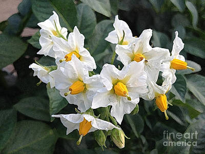 Garden Blossoms White And Yellow Garden Blossoms Poster by Conni Schaftenaar