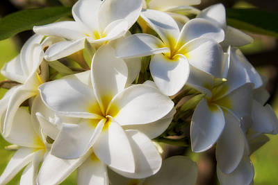 White And Yellow Plumeria 2 Poster by Brian Harig