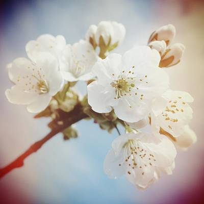 White Apple Blossom In Spring Poster