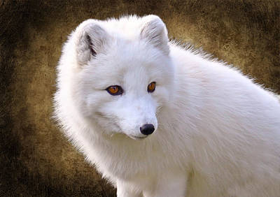 White Arctic Fox Poster