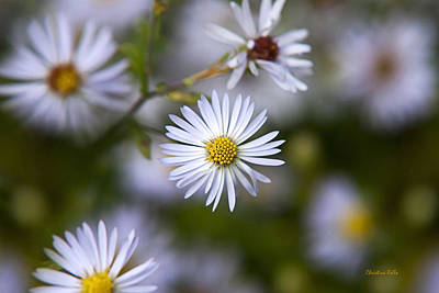 White Aster Flower Poster by Christina Rollo