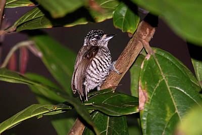 White-barred Piculet Picumnus Cirratus Poster by Leonardo Mer�on