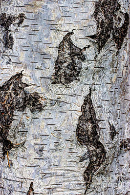 White Birch Abstract  Poster
