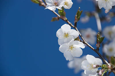 White Blossom Poster by Anne Gilbert