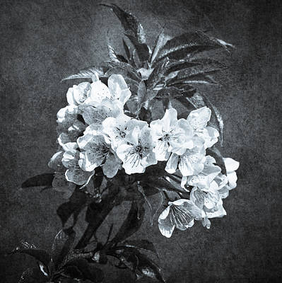White Blossoms - Black And White Poster